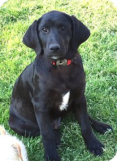 Labrador Retriever Mix Puppy for adoption in Starkville, Mississippi - Satchmo