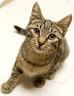 Domestic Shorthair Kitten for adoption in Montclair, New Jersey - Michelle