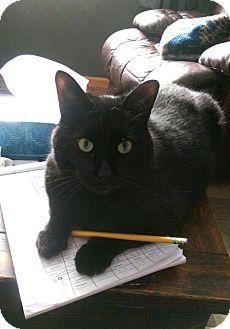 Domestic Shorthair Cat for adoption in Acme, Michigan - Kibbles