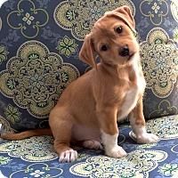 Adopt A Pet :: *Ollie - PENDING - Westport, CT