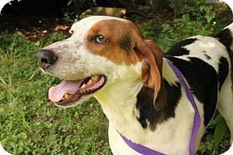 Treeing Walker Coonhound Mix Dog for adoption in Brattleboro, Vermont - Jasper