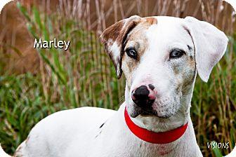Catahoula Leopard Dog Mix Dog for adoption in Lisbon, Iowa - Marley