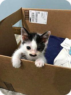 Domestic Shorthair Kitten for adoption in Akron, Ohio - D-litter - Duncan