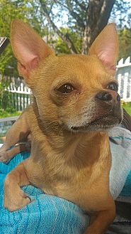 Chihuahua Mix Dog for adoption in Toronto/GTA, Ontario - TITAN