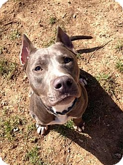 American Pit Bull Terrier/American Staffordshire Terrier Mix Dog for adoption in Harriman, Tennessee - Pika