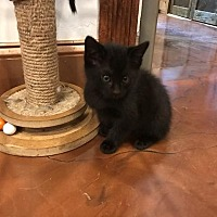 Adopt A Pet :: Black Babies - Grand Junction, CO
