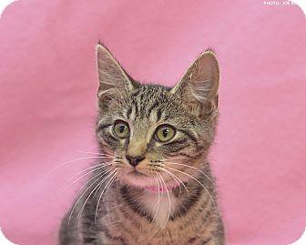 Domestic Shorthair Kitten for adoption in Medina, Ohio - Tabitha