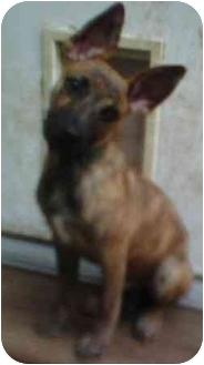 Dutch Shepherd/Boxer Mix Puppy for adoption in Oak Ridge, New Jersey - Mel