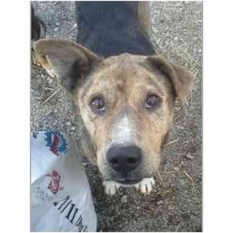 Catahoula Leopard Dog Mix Dog for adoption in Pittsburg, Kansas - Spotty-s.o.s!