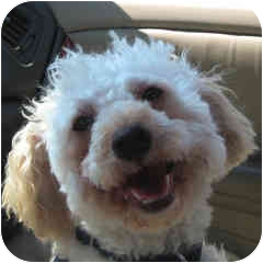 Poodle (Miniature) Dog for adoption in La Costa, California - Pop Tart