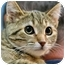 Photo 2 - Domestic Shorthair Kitten for adoption in Mt. Prospect, Illinois - Ariel
