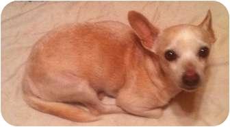 Chihuahua Dog for adoption in Cocoa, Florida - Polo