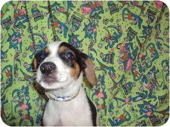 Hound (Unknown Type) Mix Puppy for adoption in Weeki Wachee, Florida - Bradley