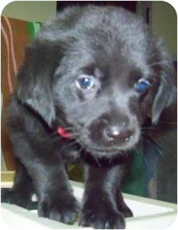 Labrador Retriever Mix Puppy for adoption in Detroit, Michigan - Lacey