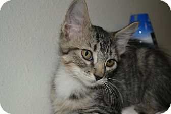 Domestic Mediumhair Kitten for adoption in Edwardsville, Illinois - Utopia