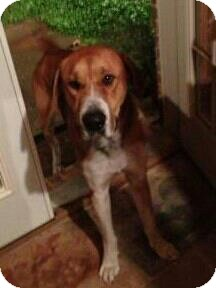 Great Dane/Hound (Unknown Type) Mix Dog for adoption in Birmingham, Alabama - Tiberius