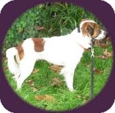 Jack Russell Terrier/Spaniel (Unknown Type) Mix Dog for adoption in justin, Texas - Maggie