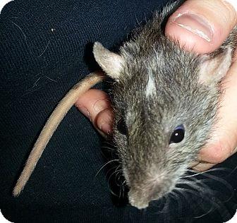 Rat for adoption in Lakewood, Washington - Double Dot Rex