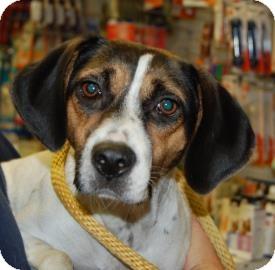 Beagle Mix Dog for adoption in Brooklyn, New York - Fuerte