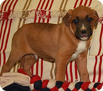 Boxer Mix Puppy for adoption in Harmony, Glocester, Rhode Island - Yams