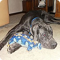 Adopt A Pet :: Baby Blue - Broomfield, CO