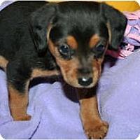 Adopt A Pet :: Gracie - Westfield, IN