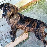 Adopt A Pet :: Greta - maryville, TN