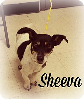 Jack Russell Terrier/Dachshund Mix Dog for adoption in Defiance, Ohio - Sheeva