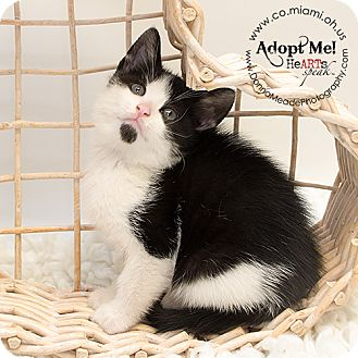 Domestic Shorthair Kitten for adoption in Troy, Ohio - Mikey Adopted
