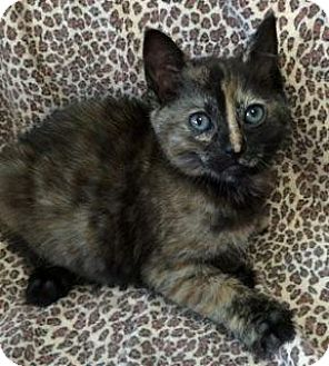 Domestic Shorthair Kitten for adoption in Bloomingdale, New Jersey - Patch