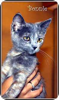Domestic Mediumhair Kitten for adoption in Yuba City, California - Bonnie
