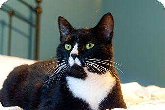 Domestic Shorthair Cat for adoption in Homewood, Alabama - Noah