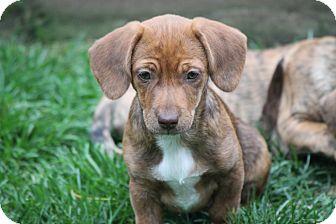 Dachshund Mix Puppy for adoption in Naperville, Illinois - Sally