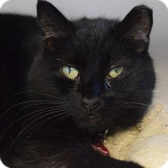Domestic Shorthair Cat for adoption in Denver, Colorado - Guava