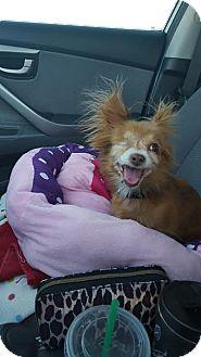 Pomeranian Mix Dog for adoption in Goodyear, Arizona - Baby