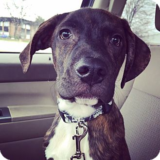 Hound (Unknown Type)/Boxer Mix Puppy for adoption in St Clair Shores, Michigan - Dixon
