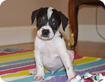 Beagle Mix Puppy for adoption in Parsippany, New Jersey - ELLIOT