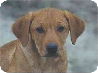 Rottweiler/Retriever (Unknown Type) Mix Dog for adoption in Roundup, Montana - Cindy Lou