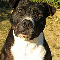 Pit Bull Terrier Mix Dog for adoption in West Babylon, New York - Sammie