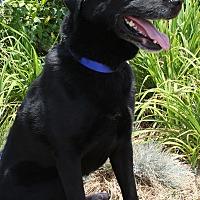 Labrador Retriever/Husky Mix Dog for adoption in Torrance, California - Max Black