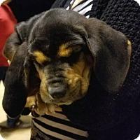 Adopt A Pet :: Sallt - Fayetteville, AR