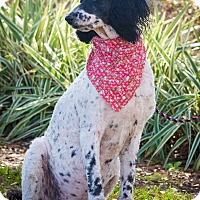 Adopt A Pet :: Jazz - Gainesville, FL
