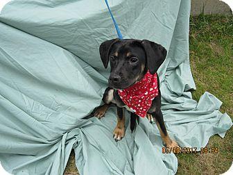 Labrador Retriever/Hound (Unknown Type) Mix Puppy for adoption in Glastonbury, Connecticut - Bianna