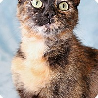 Domestic Shorthair Cat for adoption in Encinitas, California - Mitzi