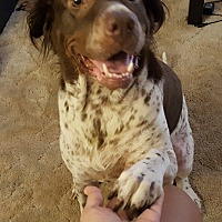 German Shorthaired Pointer Mix Dog for adoption in Devine, Texas - Penny