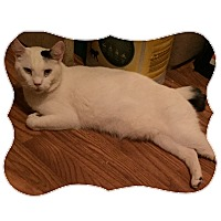 Domestic Shorthair Cat for adoption in La Canada Flintridge, California - One Spot