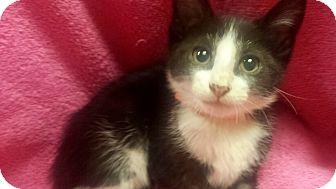 Domestic Shorthair Kitten for adoption in Las Vegas, Nevada - Sapphire