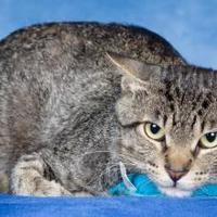 Adopt A Pet :: Duncan (FIV+) - Tinley Park, IL
