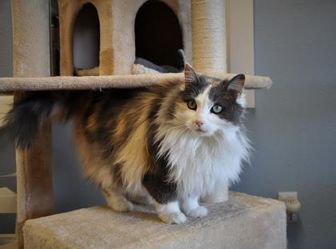 Domestic Longhair/Domestic Shorthair Mix Cat for adoption in Jackson, Wyoming - Ophelia