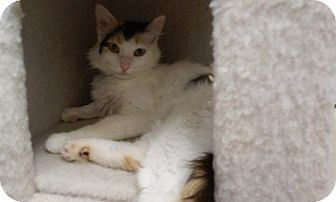 Calico Cat for adoption in Libby, Montana - Violet